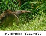 A Giant Anteater  Myrmecophaga...
