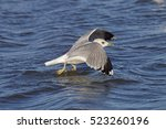 Common Gull Larus Canus In...
