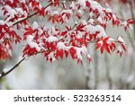 Red Maple Leaves In Snowing In...