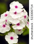 White Phlox Flowers With Red...