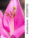 Pink Asiatic Lily Flower ...