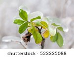 A Branch Of Wild Rose Bush Wit...