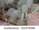 Pancake Prickly Pear Cactus In...