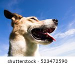 mixed breed dog face close up... | Shutterstock . vector #523472590