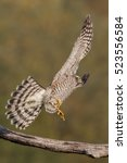 Small photo of Bird - Sparrowhawk - (Accipiter nisus)