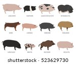 pigs  hogs breed. isolated... | Shutterstock .eps vector #523629730