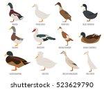 poultry farming. duck breeds... | Shutterstock .eps vector #523629790