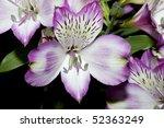 Alstroemeria Closeup