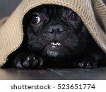 Stock photo amazing dog face with round eyes peeking out from under the rug dog black french bulldog 523651774