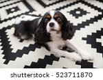 Cute Cavalier Spaniel Relaxing...