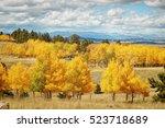 Colorado Aspens In The Fall.