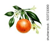 mandarin with leaves and... | Shutterstock . vector #523723300