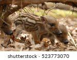 Cute Wild Boar Newborns In...