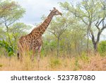 giraffe profile in the bush ... | Shutterstock . vector #523787080