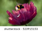 Poppy Flower And A Bumblebee