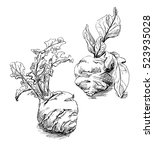 the cabbage kohlrabi hand drawn.... | Shutterstock .eps vector #523935028