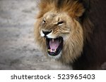 Stock photo portrait of a snarling african lion 523965403