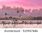 cranes flock at sunrise lake.... | Shutterstock . vector #523967686
