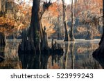 Bald Cypress Forest In Autumn ...