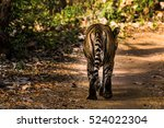ustaad a royal bengal tiger... | Shutterstock . vector #524022304