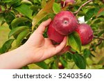 Picking a Ripe Red Apples Covered with Raindrops - stock photo