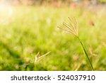 grass flower on green grass in...   Shutterstock . vector #524037910