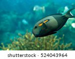 Small photo of Orange shoulder tang fish, orangeshoulder, Acanthurus olivaceus, is found in the Indo-West Pacific