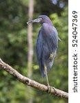 the little blue heron  egretta... | Shutterstock . vector #524047369
