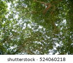 green tree branches nature in... | Shutterstock . vector #524060218