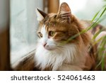 cat close up looking out the... | Shutterstock . vector #524061463