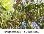 Green Pecan Nuts Growing On...