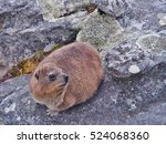 Rock Hyrax Or Dassie On The...
