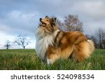 Rough Collie Looking Forward T...