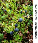 Small photo of Wild forest plants of the Kola Peninsula and Scandinavia: Bush blueberries with ripe large blue-gray berries in autumn forest among thickets crowberry, closeup