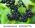 Elderberry. Closeup View Of We...