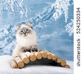 Stock photo siberian neva kitten on winter nature in snow 524250334