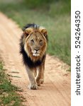 The Transvaal Lion  Panthera...