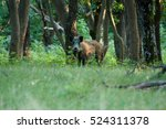 Wild Boar On The Forest In...