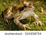 European Common Frog  European...
