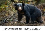 close up sloth bear  melursus... | Shutterstock . vector #524386810