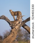 Small photo of A vertical photograph of one Cheetah (acinonyx jubatus) on the lookout in a dead tree during sunrise in The Kruger National Park