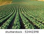 Cabbage Crop Being Grown In...