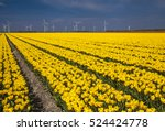 Field Of Tulips  Garden ...