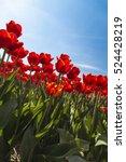 Tulips  Red Tulips  Garden ...