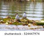 common tern  tataru water canal ... | Shutterstock . vector #524447974