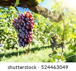 Wine Grapes On The Vine. Sunny...