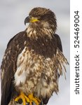 Small photo of Young Alaskan Bald Eagle, Haliaeetus leucocephalus