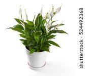 Potted Spathiphyllum Flower...