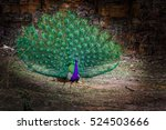 male peafowl or peacock... | Shutterstock . vector #524503666
