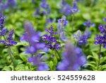 blue salvia flowers | Shutterstock . vector #524559628